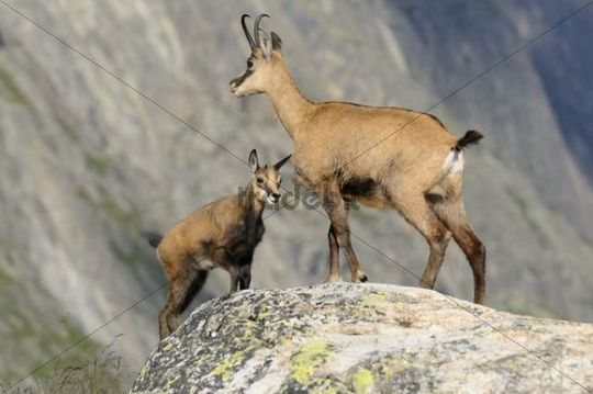Chamois (Rupicapra rupicapra) with fawn in the mountains of the Swiss Alps, Switzerland, Europe