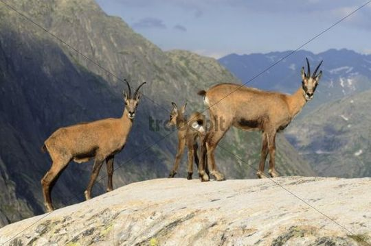 A group of chamois (Rupicapra Rupicapra) against backdrop of the Swiss Alps, Switzerland, Europe