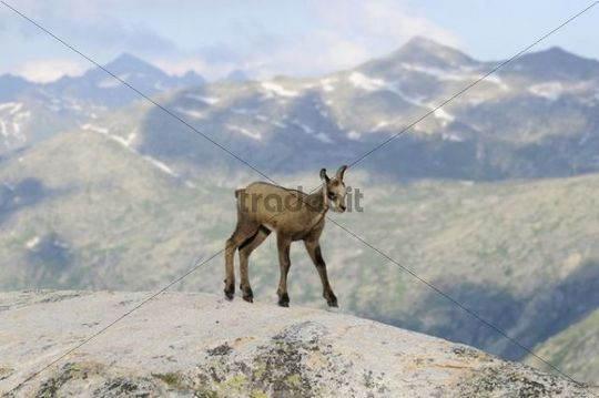 Chamois fawn (Rupicapra rupicapra) against the Bernese Alps, Switzerland, Europe
