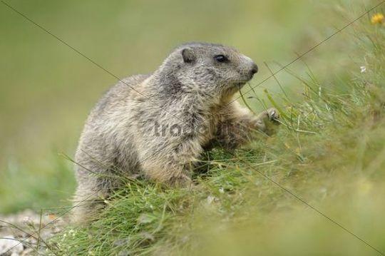Alpine marmot (Marmota marmota) foraging