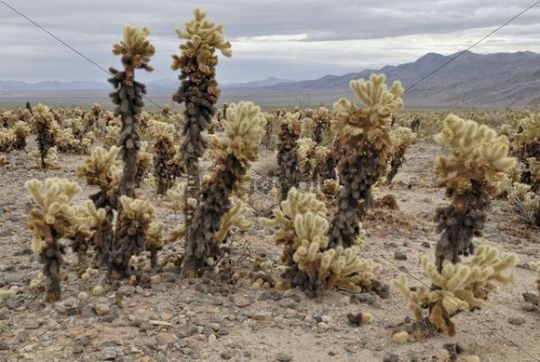 Teddybear Cholla (Cylindropuntia bigelovii), Joshua Tree National Park, Palm Desert, California, USA