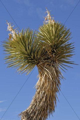 Branch of a Joshua tree, Yucca palm, or Tree yucca (Yucca brevifolia), Joshua Tree National Park, Palm Desert, Southern California, USA