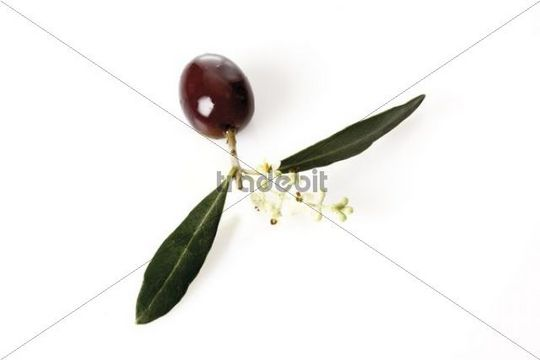 Branch of olive flowers and olive