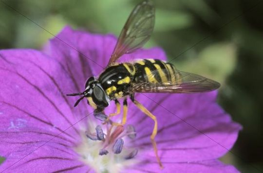 Hoverfly (Chrysotoxum intermedium) feeding on pollen from a Bloody Cranesbill