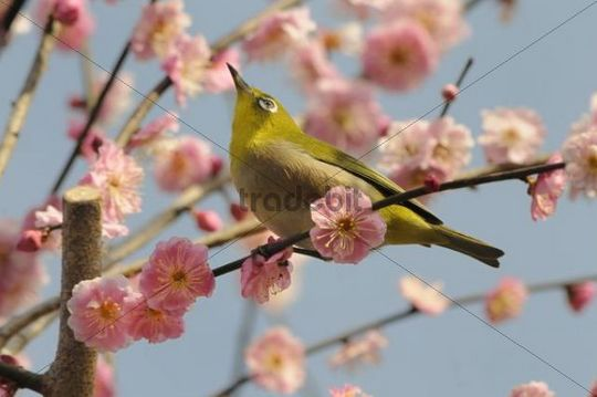 Japanese White-eye (Zosterops japonica) in a Japanese Apricot or Ume (Prunus mume), Kyoto, Japan, East Asia, Asia