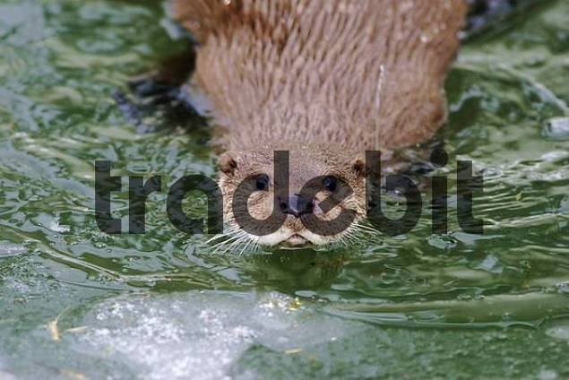 European otter Lutra lutra is swimming in a pond, captive