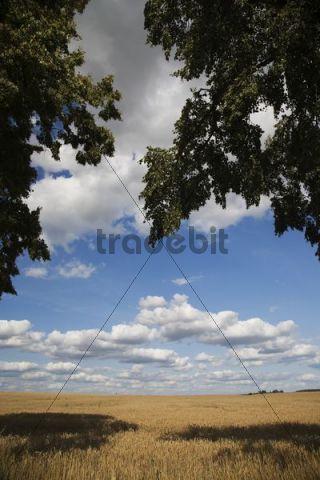 Grain field in summer, Mecklenburg-Western Pomerania, Germany, Europe