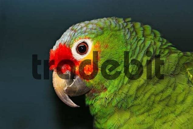 portrait of a Red Lored Amazon Amazona autumnalis