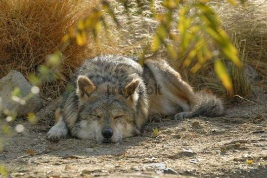 Mexican wolf (Canis lupus baileyi), sleeping, Park Living Desert, Palm Desert, California, USA
