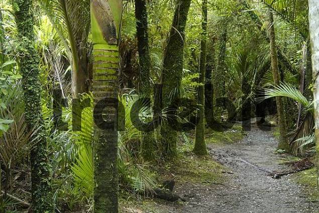 fern trees, Pororari River Walk, Paparoa NP, South Island, New Zealand