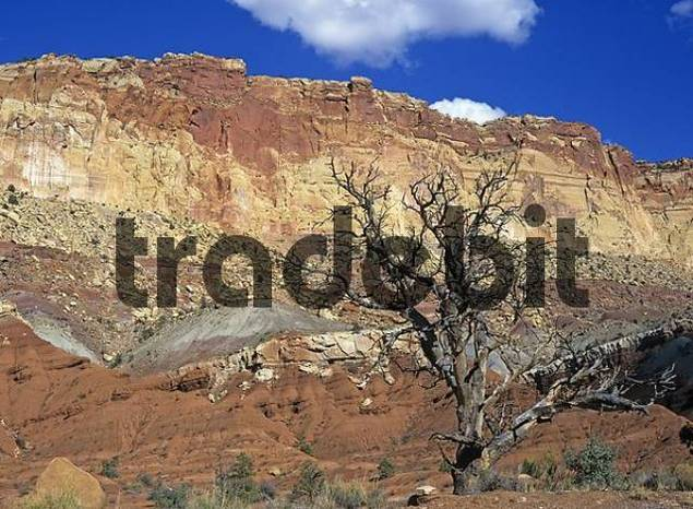 dead tree, Capitol Reef NP, Utah, USA