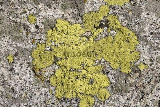 Landkartenflechte (Rhizocarpon geographicum) und Krustenflechten auf Quarzgestein, Mount San Jacinto State Park, Palm Springs, Südkalifornien, Kalifornien, USA