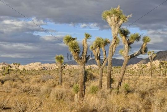 Joshua Trees (Yucca brevifolia) in front of monzogranite formations, Joshua Tree National Park, Palm Desert, Southern California, California, USA