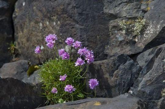Flowering clover on basalt rocks, Staffa, Inner Hebrides, Scotland, UK, Europe