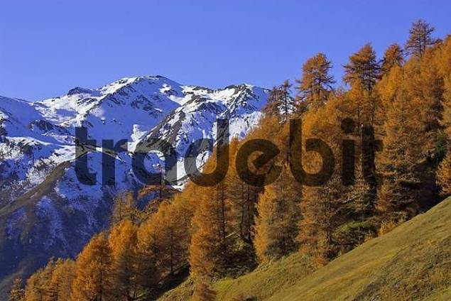 snow covered mountains above the Rojen valley and larch Larix in autumn color, mountain village Rojen 2000m, South Tyrol, Italy