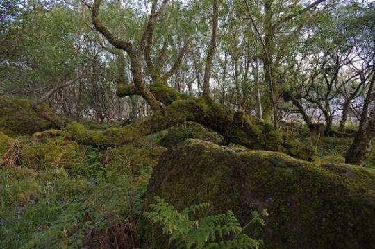 Moss-covered tree, Carsaig Bay, Isle of Mull, Scotland, United Kingdom, Europe