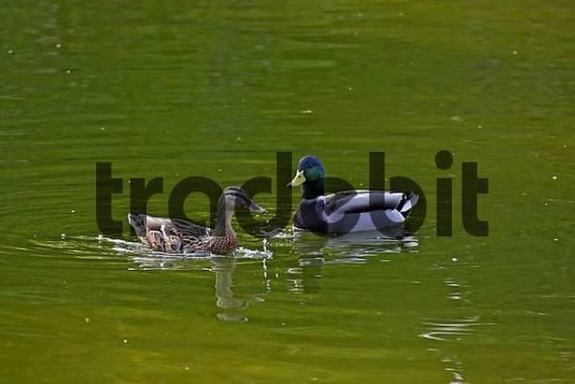 pair of mallards Anas platyrhynchos in a pond