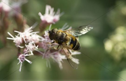 Drone fly or dronefly (Eristalis tenax) on flower
