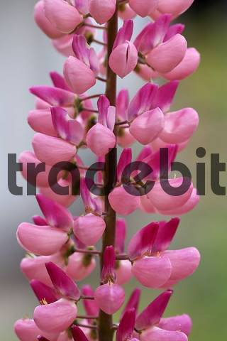 flower of lupine Lupinus angustifolius Germany
