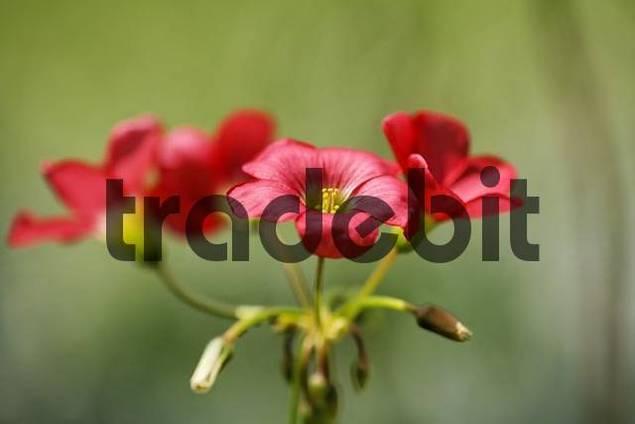 Iron Cross Oxalis, Good Luck Plant Oxalis deppei = Oxalis tetraphylla