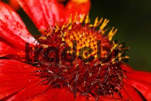 Blanket flower , blanketflower  Gaillardia grandiflora Burgunder