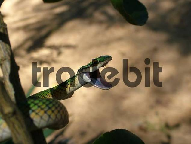 Parrot snake ready to attack Leptophis ahaetulla, Concepcion, Paraguay