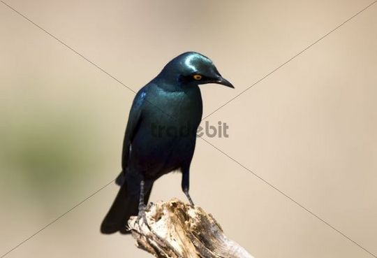 Cape Glossy-Starling (Lamprotornis nitens), Ihaha, Chobe National Park, Botswana, Africa