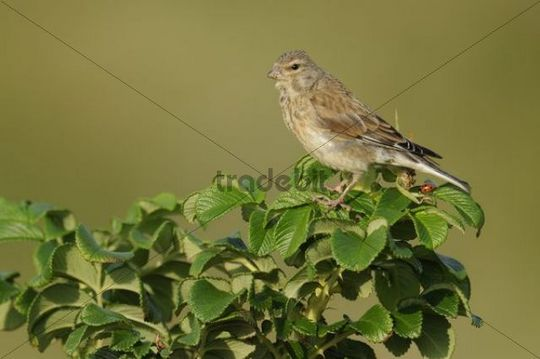 Young Linnet (Acanthis cannabina)