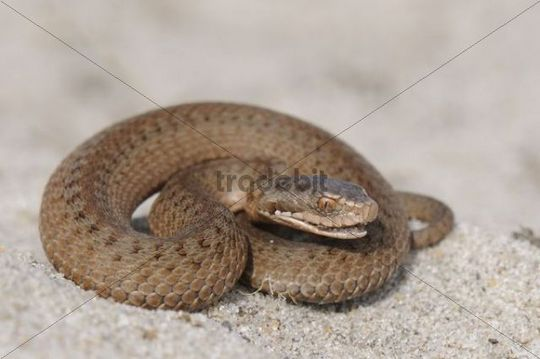 Young European Adder (Vipera berus), about 15 cm long