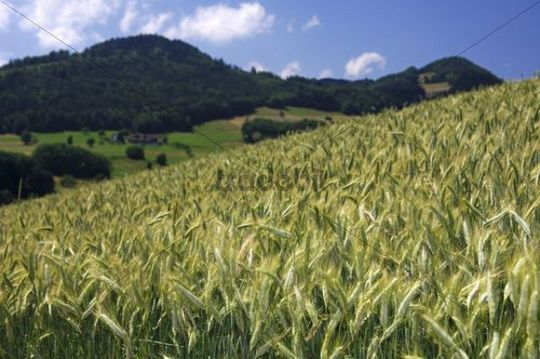 Rolling hills landscape with rye fields in the Swiss Central Plateau, canton of Aargau, Switzerland, Europe
