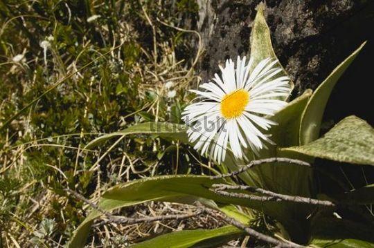 Mountain daisy flower (Celmisia verbascifolia), Fjordland National Park, South Island, New Zealand