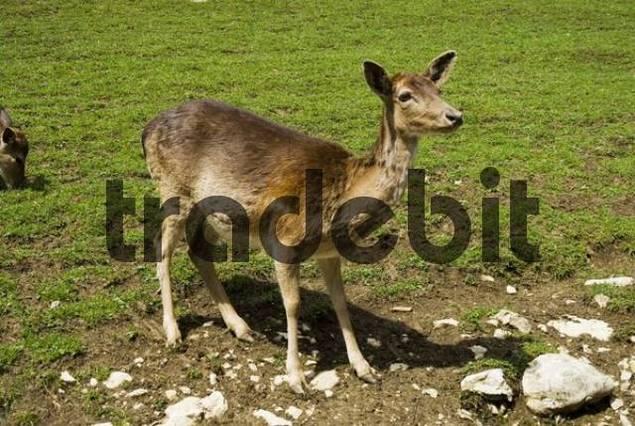 fallow deer cervus dama Dama dama
