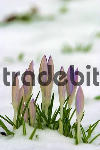 crocus Crocus albiflorus with snow