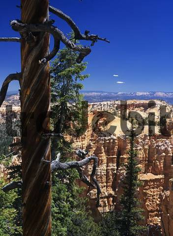 dead tree with a interesting spiral structure, Bryce Canyon, Utah, USA