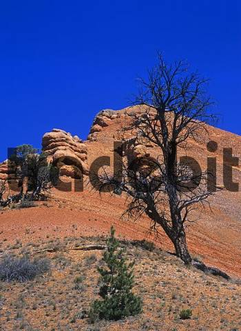 dead tree in the Red Canyon, Panguitch, Utah, USA