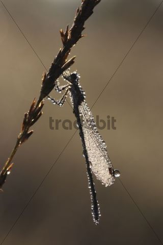 Emerald Damselfly (Lestes sponsa) in the morning dew, on a reed plant