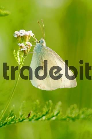 Butterfly Pieris rapae