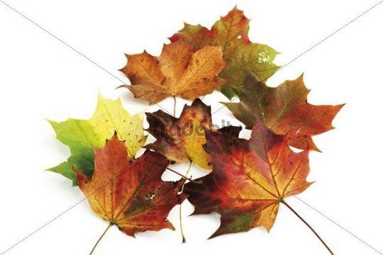Autumn-colored maple leaves