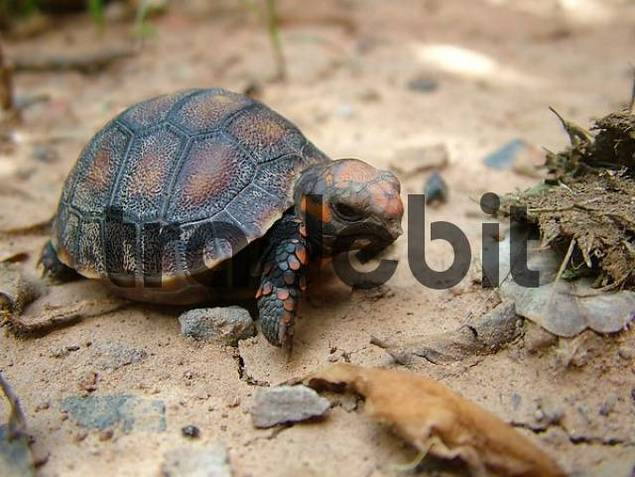just hatched red-footed tortoise Geochelone carbonaria, Gran Chaco Paraguay