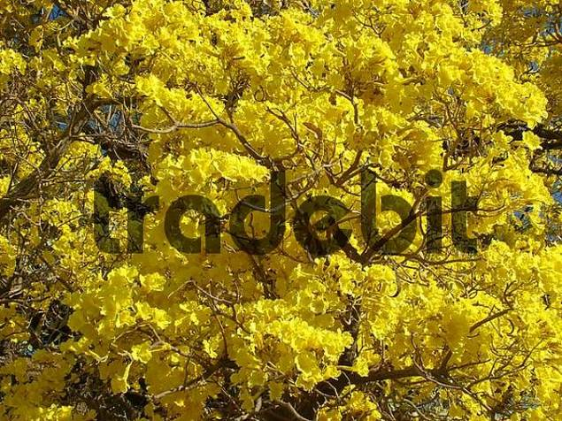 Close-up of the unbelievable mass of the yellow flowers of the Trumpet tree Tabebuia caraiba, Gran Chaco, Paraguay