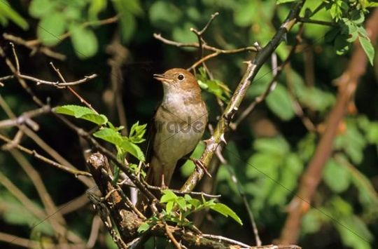 Nightingale (Luscinia megarhynchos), singing in the breeding territory