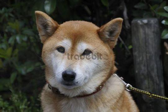 Shiba, japanische Hunderasse, Kyoto, Japan, Ostasien, Asien