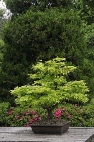 bonsai im botanischen garten in kyoto japan ostasien. Black Bedroom Furniture Sets. Home Design Ideas