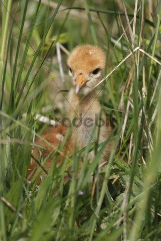 Chick, Common Crane, Eurasian Crane (Grus grus)