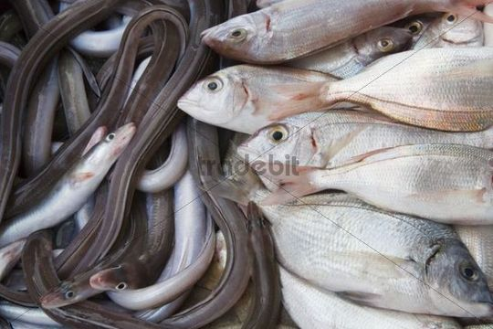Freshly caught fish, Peniscola, Costa Azahar, Spain, Europe