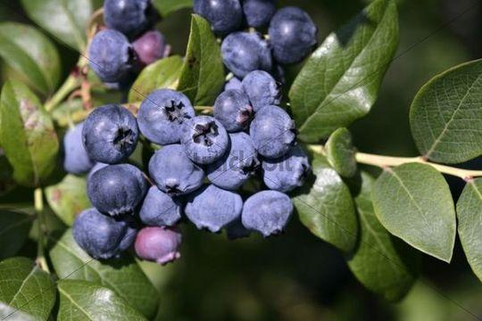 Bilberries (Vaccinium myrtillus) on the bush