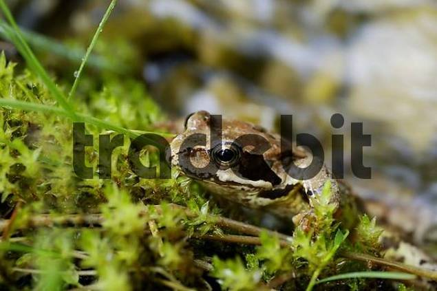 grass or common frog sitting in moss