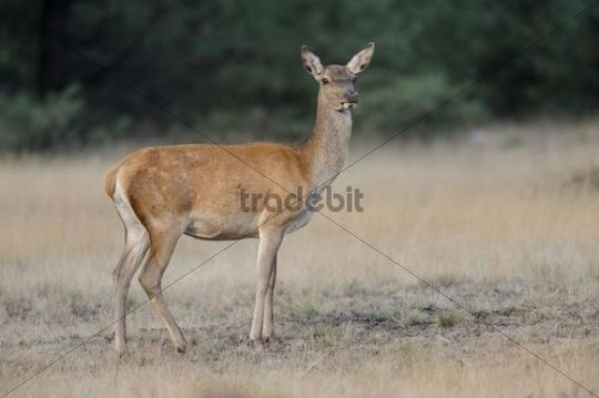 Red Deer (Cervus elaphus), deer rut, Hoge Veluwe National Park, Gelderland, Netherlands, Europe