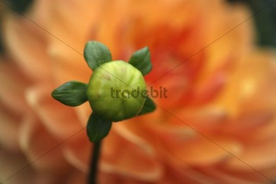 Bud of an orange-coloured Dahlia (Dahlia hybrida) variety