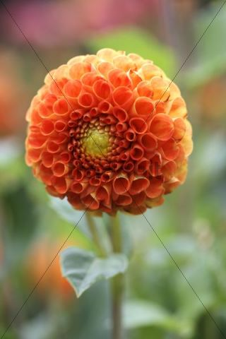 Orange blossom of a pompom dahlia (Dahlia hybrida)